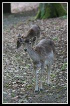 Damhirschkühe im Wald