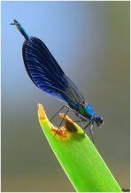 Damigella-Zigottero-Calopteryx virgo