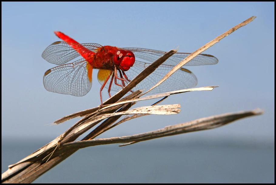 Damit das Feuerlibellen-Weibchen nicht so allein ist...