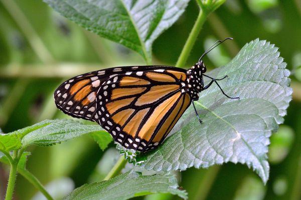 Danaus Plexippus ( la Monarca )
