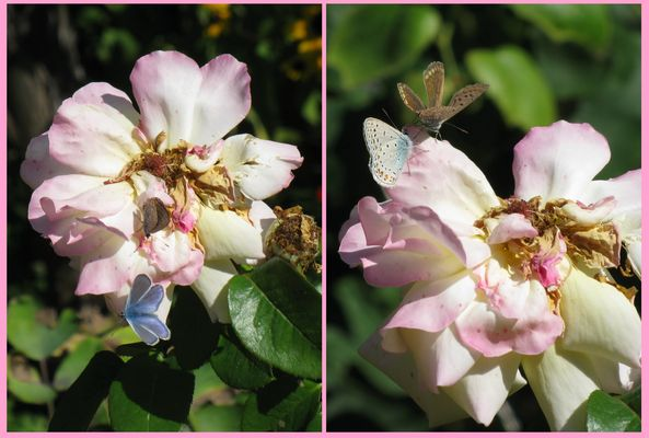 dance of  little butterflies on old rose