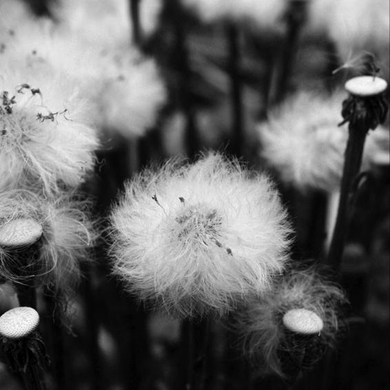 dandelion von bizarre art fotograf