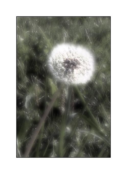 Dandelion In The Sparkling Morning Bloom