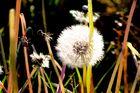 Dandelion in the vineyard, nsophisticated