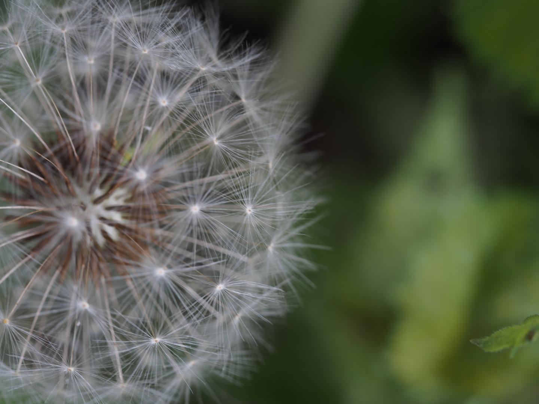 Dandelion, make a wish
