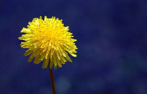 Dandelion w/ the Blues