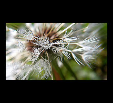 Dandelion's jewell