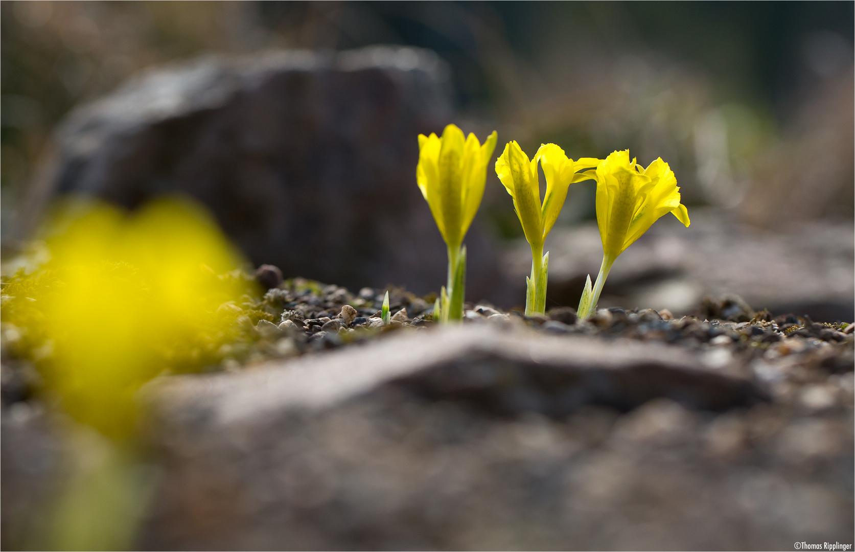 Danford-Schwertlilie (Iris danfordiae).