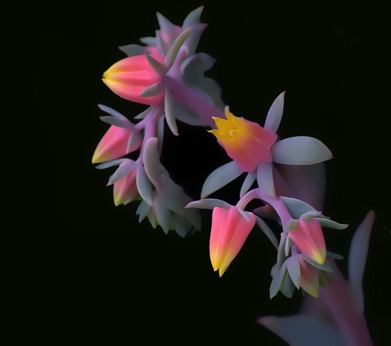Danke für den Namen der Blüte- Echeveria -