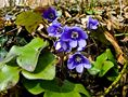 Danke und frohe Ostern - Leberblümchen im Wald! von Uwe Vollmann