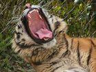 Dans la gueule du tigre