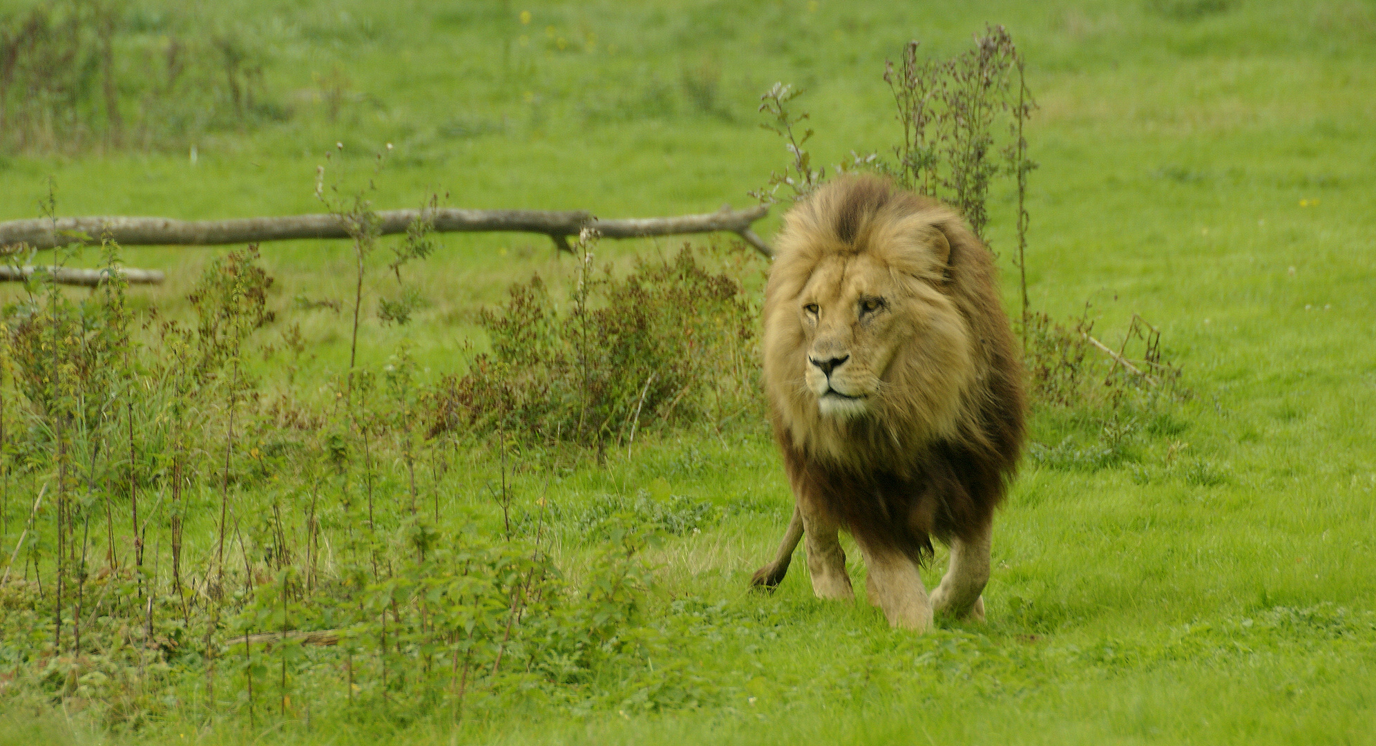 dans la savane seine et marnaise!!!! lion de l'Angola