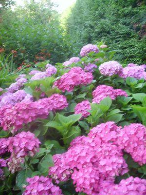 Dans le jardin,<Hortensia au coin verdure>