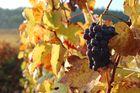 Dans les vignes de Bourgogne