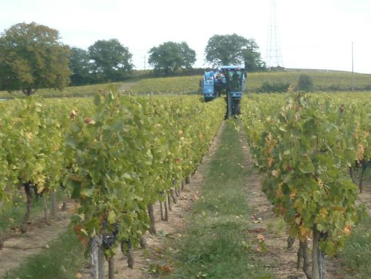 Dans les vignes mieux vaut sortir ses pieds!
