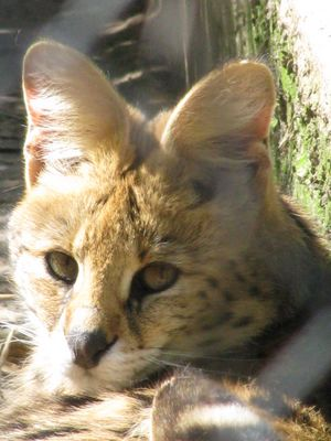 Dans les yeux du Serval
