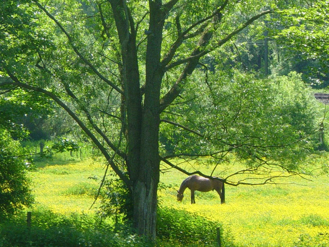 Dans un pré, un cheval paisiblement mangeait