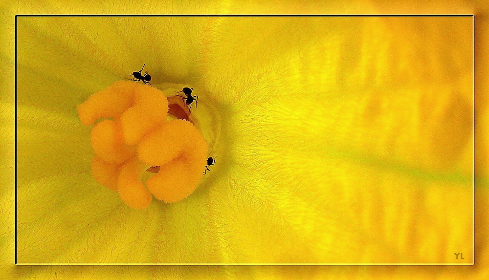 Dans une fleur de courgette.