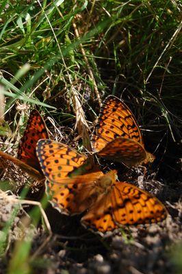 danse des papillons