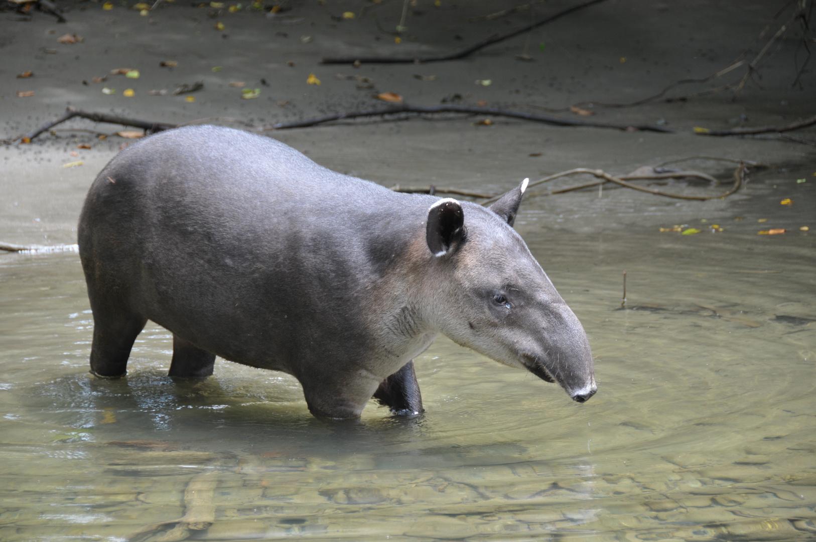 Danta / Tapir auf dem catwalk