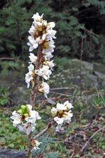 Daphne alpina - Alpenseidelbast