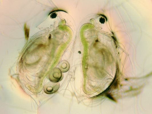 Daphnia (Blattfußkrebs)