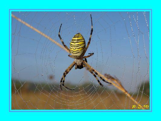 d'araignée Epeire Fasciée