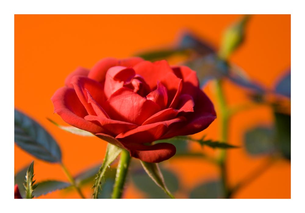 Darf ich Dir eine Rose schenken?