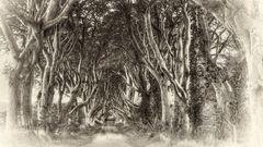 Dark Hedges  -  Antrim/Nordirland