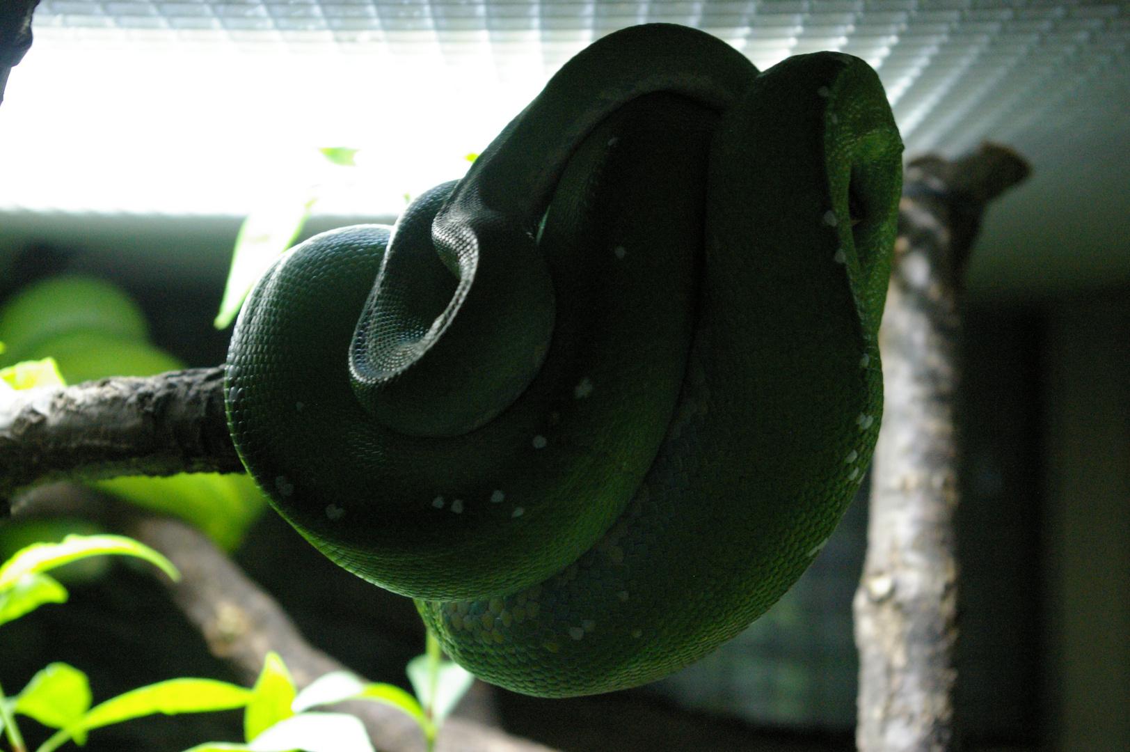 Dark Side Snake