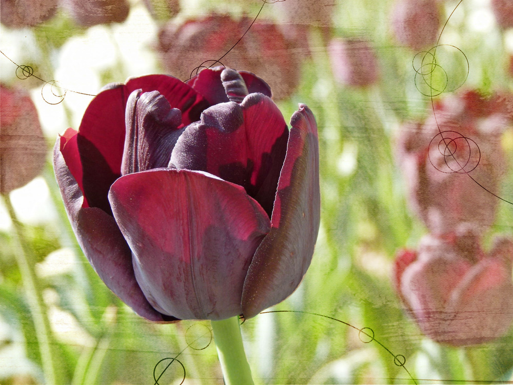 * Dark Tulipan *