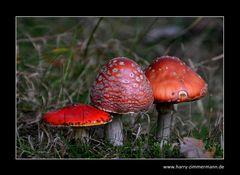 Darß-Pilze