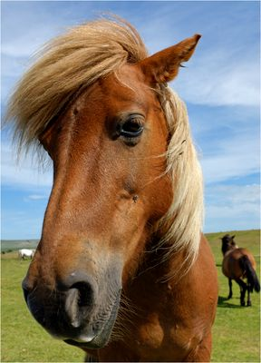 dartmoor pony ....