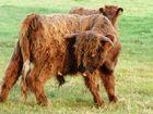 Darum haben Kühe Hörner