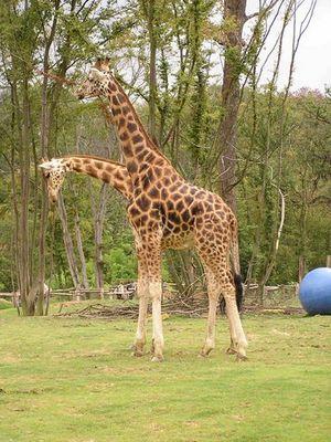 Das achte Weltwunder: eine Giraffe mit zwei Köpfen!