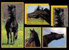 Das arabische Pferd
