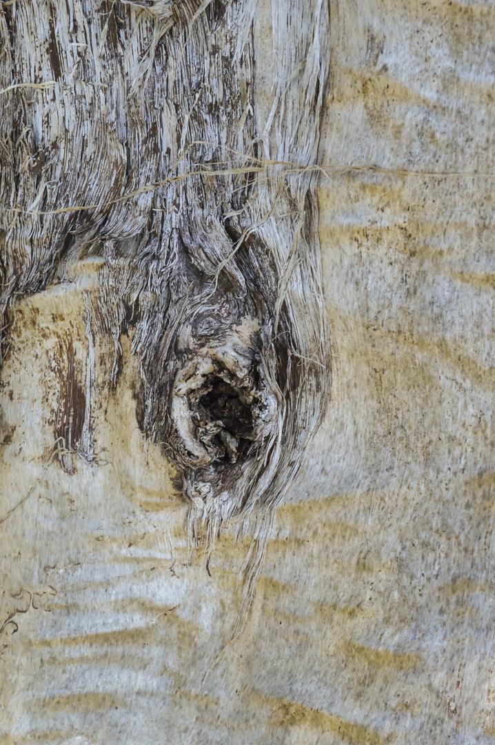 Das Auge der Birke