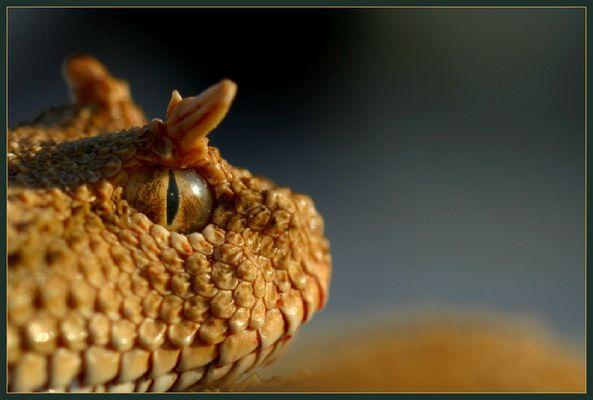 Das Auge der Hornviper