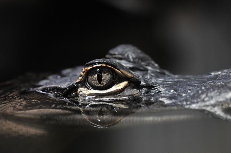 Das Auge des Brillenkaiman