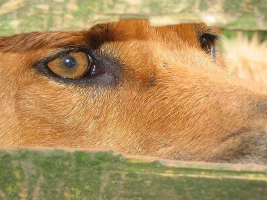 Das Auge des Dingos