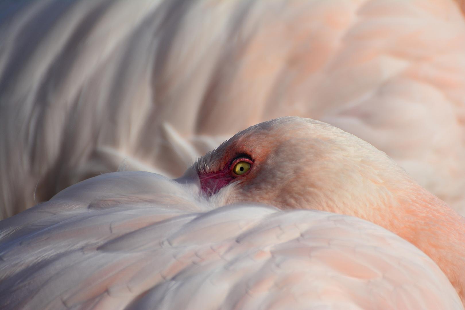 Das Auge des Flamingos