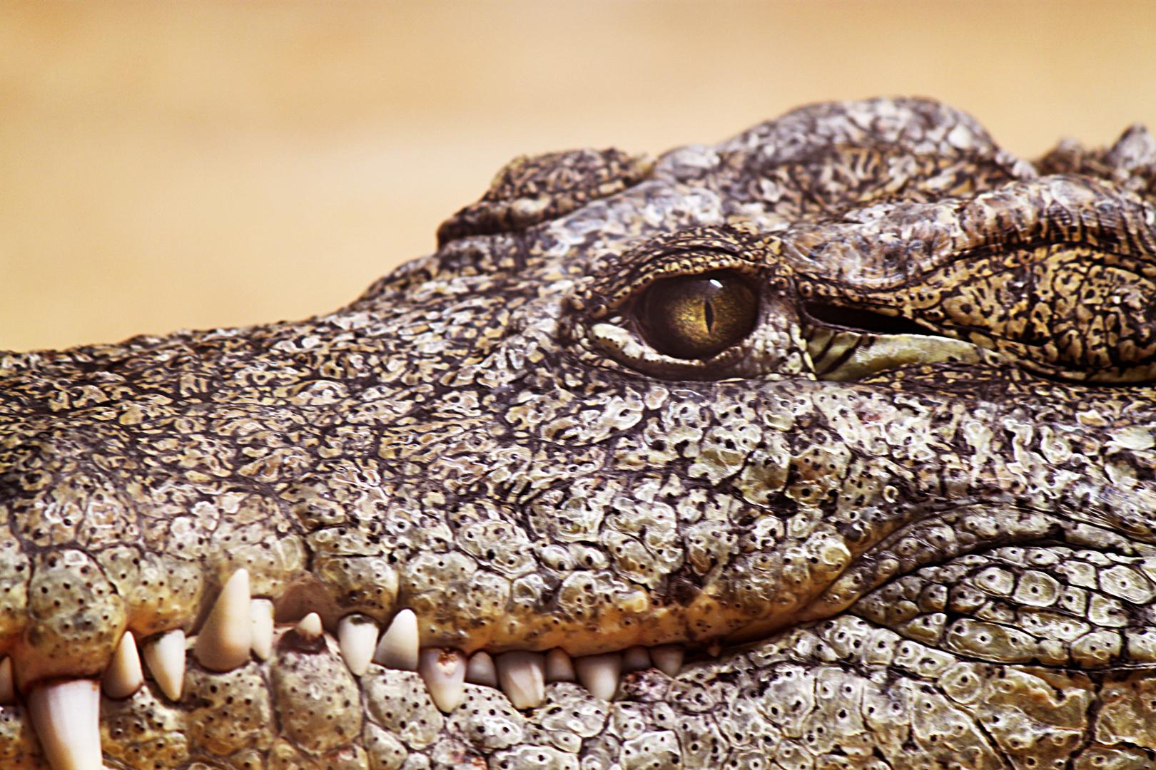 Das Auge des Krokodils