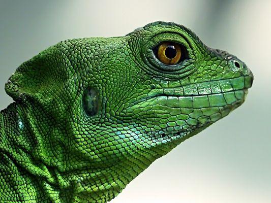 das Auge des Leguans 46