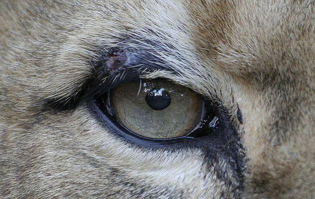 das Auge des Tigers, äh Löwen