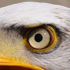 Das Auge des Weisskopfseeadlers