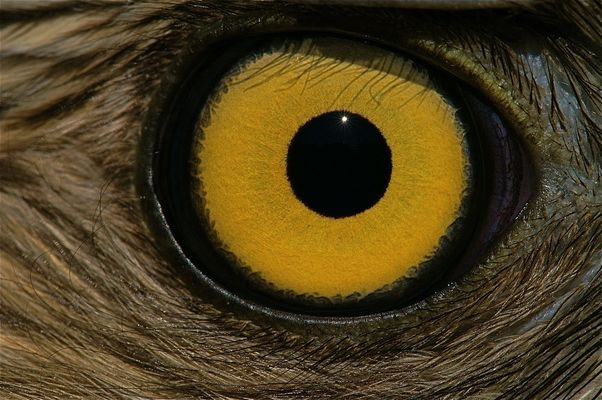 das Auge eines wildlebenden Habichts