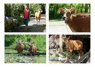 ...das Bali Rind...