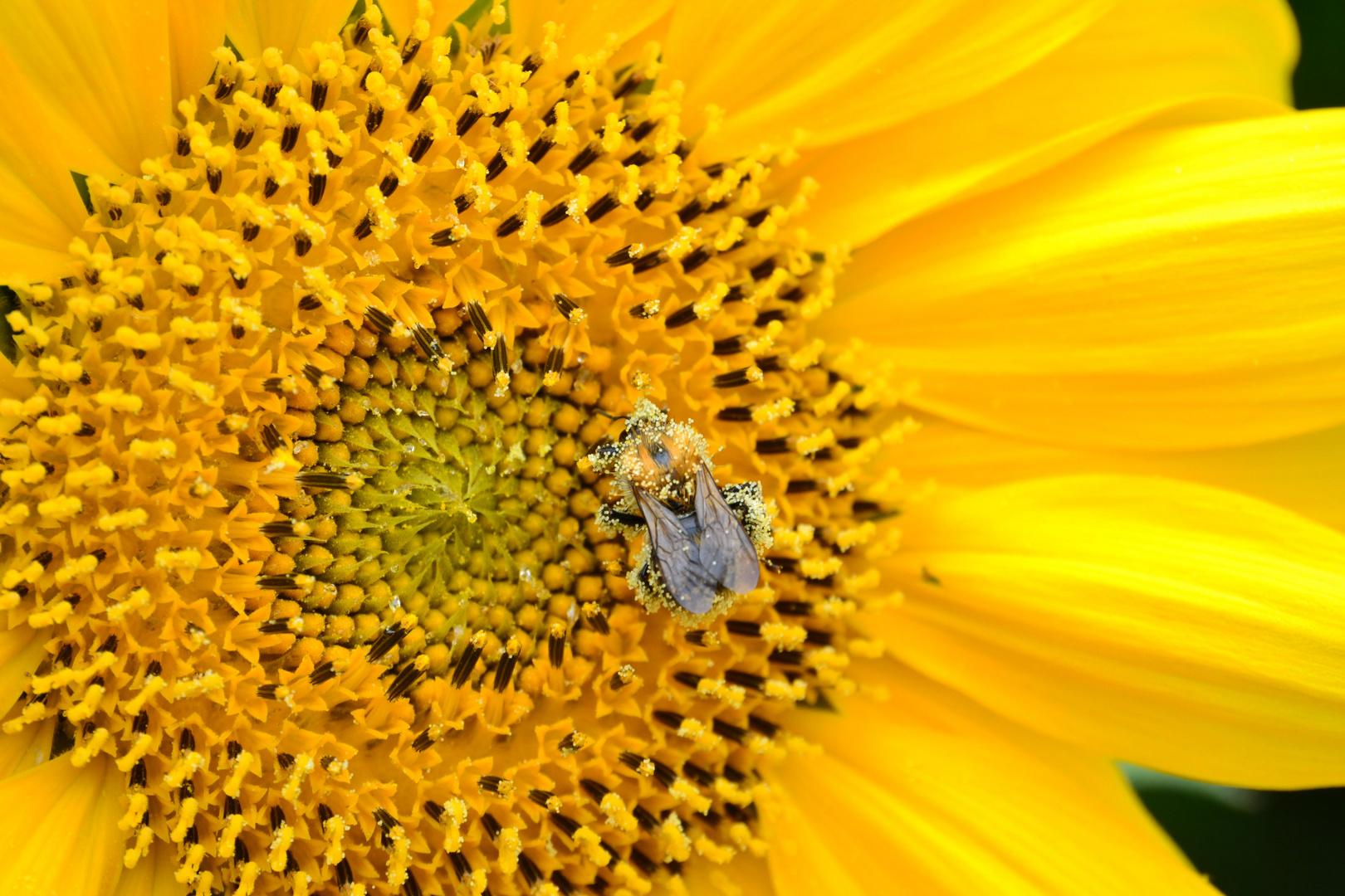 Das Bienen-Pollen-Bad