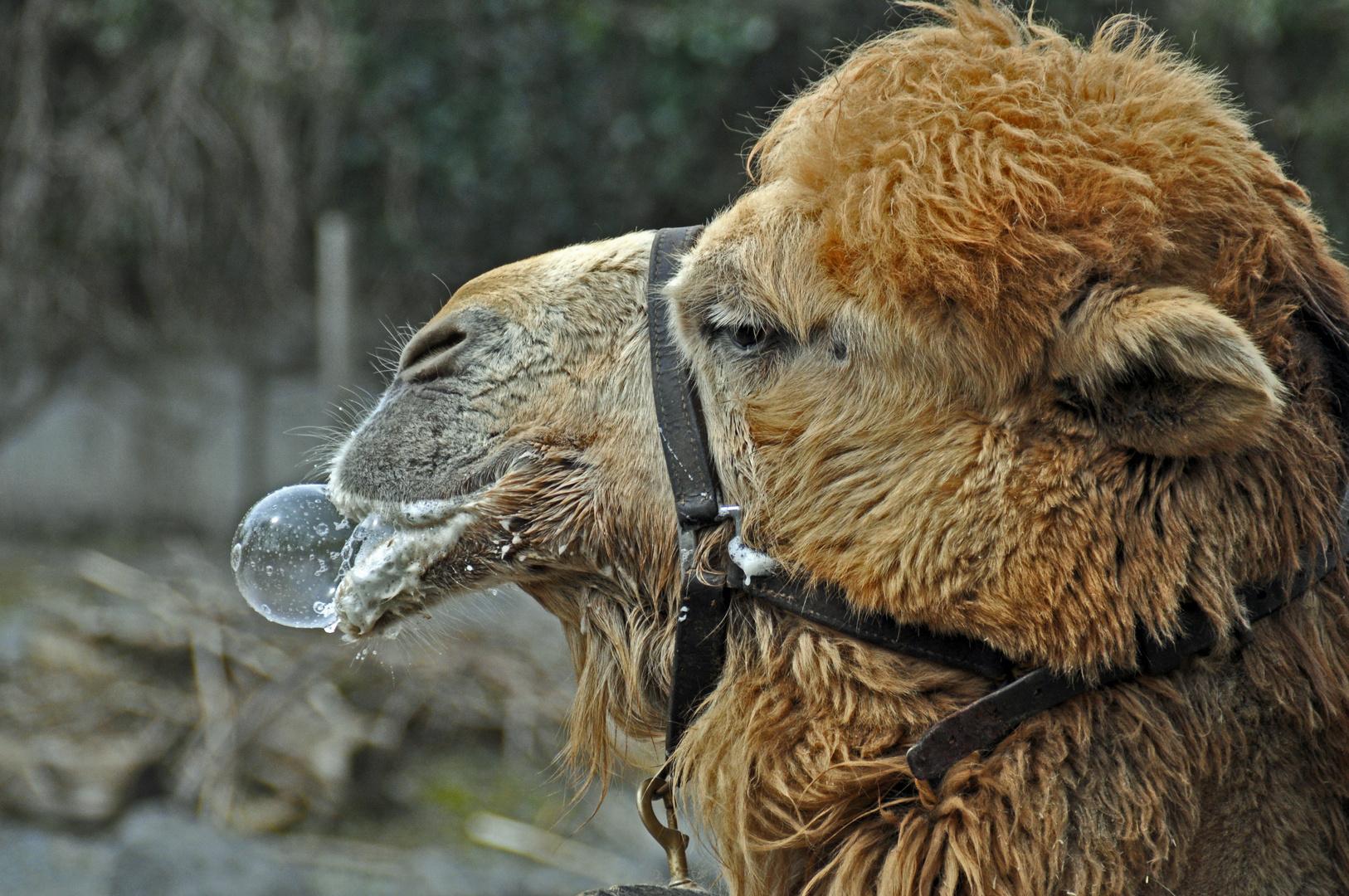 Das Blasen Kamel
