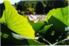 Das Blatt der Lotusblüte
